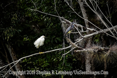 Egret and Heron on Branch Copyright 2019 Steve Leimberg UnSeenImages Com _A6I0284