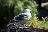 Seagull - SF Zoo (4724)