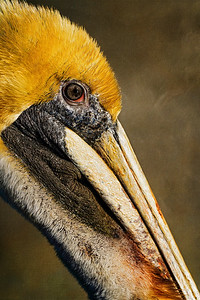 Pelican Portrait Copyright 2021 Steve Leimberg UnSeenImages Com _DSC6791