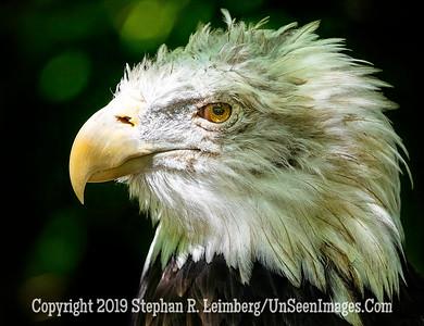 Eagle Profile Copyright 2019 Steve Leimberg UnSeenImages Com _Z2A7192