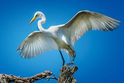Great Egret Wings Spread Copyright 2021 Steve Leimberg UnSeenImages Com _DSC3411 copy