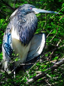 Heron Copyright 2021 Steve Leimberg UnSeenImages Com _DSC9409 copy