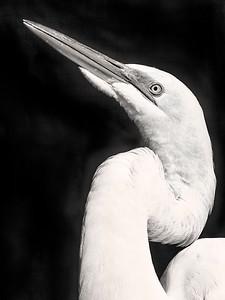 Great Egret Close Up B&W Copyright 2021 Steve Leimberg UnSeenImages Com _DSC9861