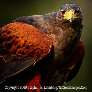 Harris Hawk - Copyright 2018 Steve Leimberg UnSeenImages Com _A6I6797
