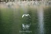Snowy Egret - Vasona Park (5) D