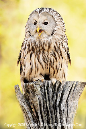 Ural Owl - Copyright 2018 Steve Leimberg UnSeenImages Com _A6I9033