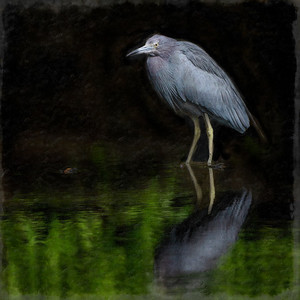 Night Heron Copyright 2021 Steve Leimberg UnSeenImages Com _DSC3416 copy