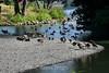 Canada Geese - Vasona Park (1) D