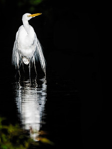 Great Egret Golden Pond Copyright 2021 Steve Leimberg UnSeenImages Com _DSC1029