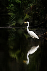 Egret Golden Pond II Copyright 2020 Steve Leimberg UnSeenImages Com _DSC7289