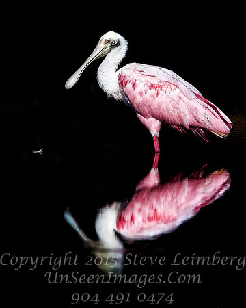 Perfect Roseate Spoonbill  - Copyright 2016 Steve Leimberg - UnSeenImages Com _Z2A1554