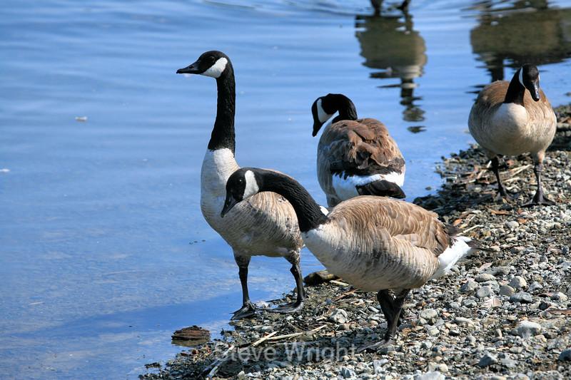 Canada Geese - Vasona Park (18) D