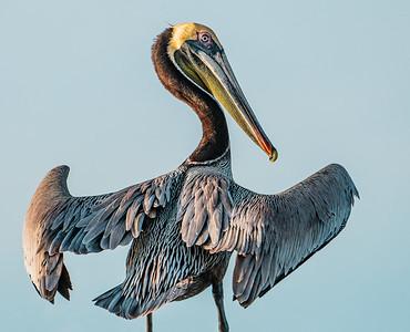 Pelican at Mayport Copyright 2021 Steve Leimberg UnSeenImages Com _DSC0217 copy