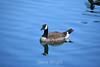Canada Geese - Vasona Park (21) D