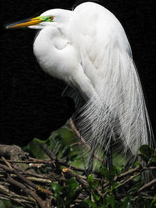 Great Egret Perching Copyright 2021 Steve Leimberg UnSeenImages Com _DSC5534