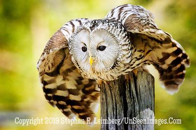 Owl My Gosh  Copyright 2018 Steve Leimberg UnSeenImages Com _A6I9255