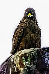 Galapagos Hawk Copyright 2020 Steve Leimberg UnSeenImages Com _DSC8711