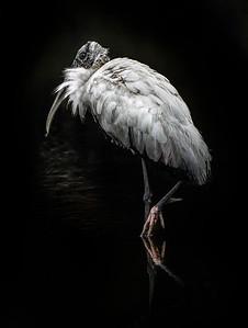 Silver Woodstork at Golden Pond Copyright 2021 Steve Leimberg UnSeenImages Com _DSC3257 copy