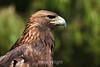 Golden Eagle - SF Zoo (5030)