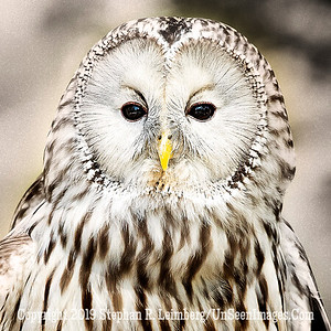 Ural Owl  Up Close and personal - Copyright 2018 Steve Leimberg UnSeenImages Com _A6I9251
