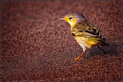 Yellow Warbler Copyright 2020 Steve Leimberg UnSeenImages Com _DSC9379