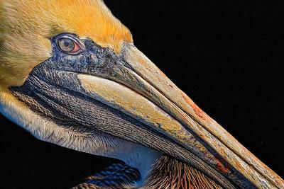 Red Eyed Pelican Copyright 2021 Steve Leimberg UnSeenImages Com _DSC6695