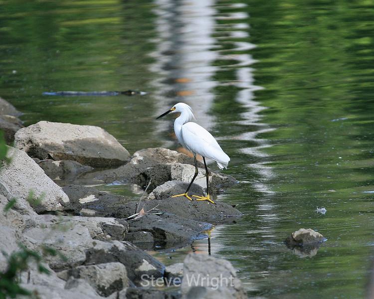 Snowy Egret - Vasona Park (2) Crop D