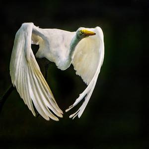 Great Egret in Flight Copyright 2021 Steve Leimberg UnSeenImages Com _DSC3330-Enhanced copy