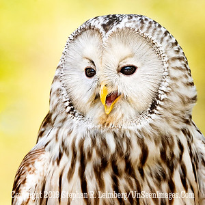 Ural Owl Asking for Directions - Copyright 2018 Steve Leimberg UnSeenImages Com _A6I9242