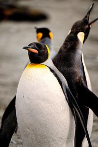 Back to Back Penguins Copyright 2020 Steve Leimberg UnSeenImages Com _DSC3515