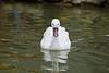 Snow Goose - SF Zoo #6290