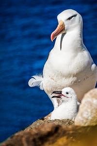 Mom and Chick Albatross Copyright 2020 Steve Leimberg UnSeenImages Com _DSF8938