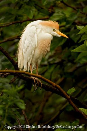 Cattle Egret on Branch_L8I2164