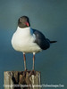 Gull - Copyright 2015 Steve Leimberg - UnSeenImages Com _M1A9995