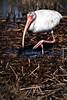 White Ibis - Copyright 2016 Steve Leimberg - UnSeenImages Com _A6I0958