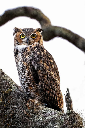 Owl on Our Tree - Copyright 2016 Steve Leimberg - UnSeenImages Com _A6I5197