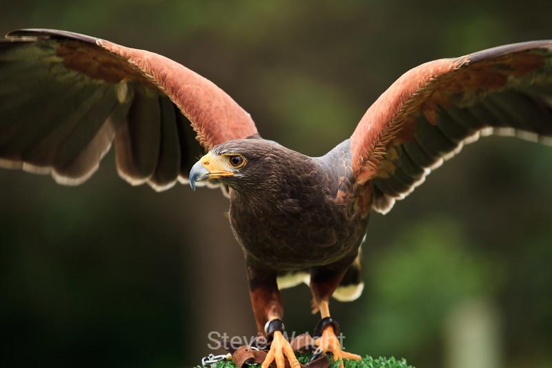 Harris Hawk - SF Zoo #6174