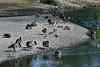Canada Geese - Vasona Park (2) D