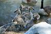 Canada Geese - Vasona Park (49) D
