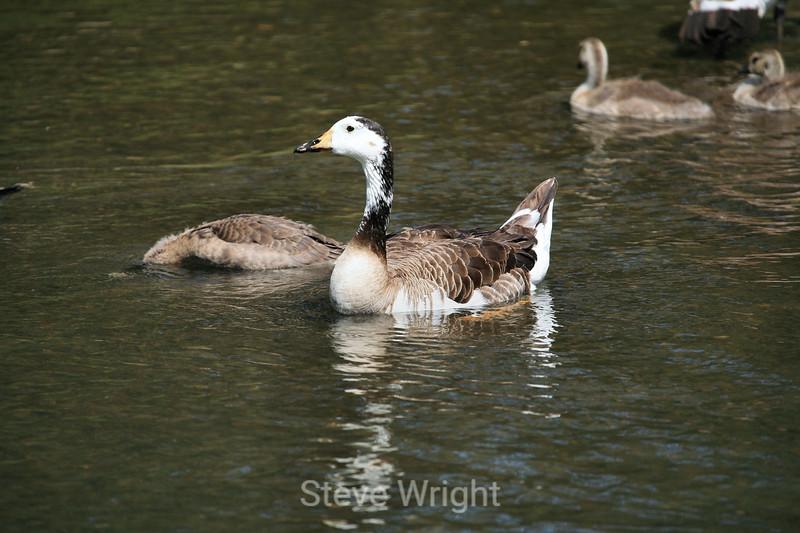 Canada Geese - Vasona Park (59) D
