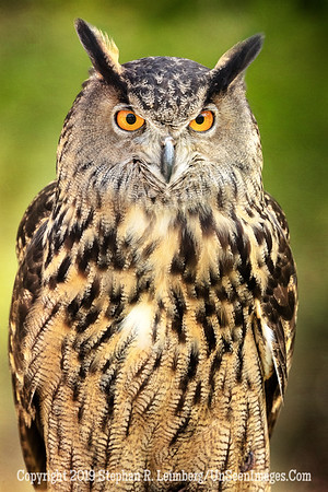 Gentleman Owl - Copyright 2018 Steve Leimberg UnSeenImages Com _Z2A2079