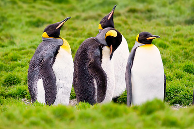 Quartet  of Penguins Copyright 2020 Steve Leimberg UnSeenImages Com _DSC2077