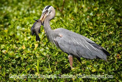 Great Fisherbird Copyright 2019 Steve Leimberg UnSeenImages Com _A6I0454