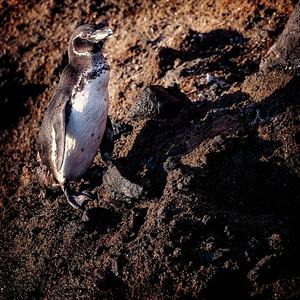 Galaopagos Penguin Copyright 2019 Steve Leimberg UnSeenImages Com _DSC5733