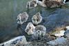 Canada Geese - Vasona Park (46) D