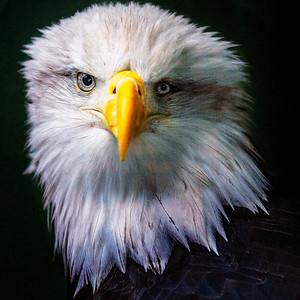 Eagle Juneau Alaska c Copyright 2021 Steve Leimberg UnSeenImages Com _Z2A6128 copy