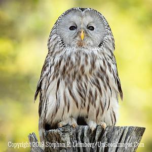 Ural Owl Copyright 2018 Steve Leimberg UnSeenImages Com _A6I9042