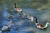 Canada Geese - Vasona Park (56) D