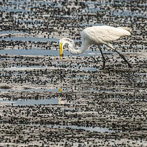 Great White Egret on Marsh Near Shucker's  Copyright 2020 Steve Leimberg UnSeenImages Com _DSC5713
