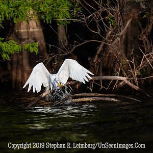 Fish Catching Egret Copyright 2019 Steve Leimberg UnSeenImages Com _A6I3839